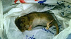 The first of 6 rats caught